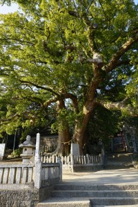 岡上神社大クス