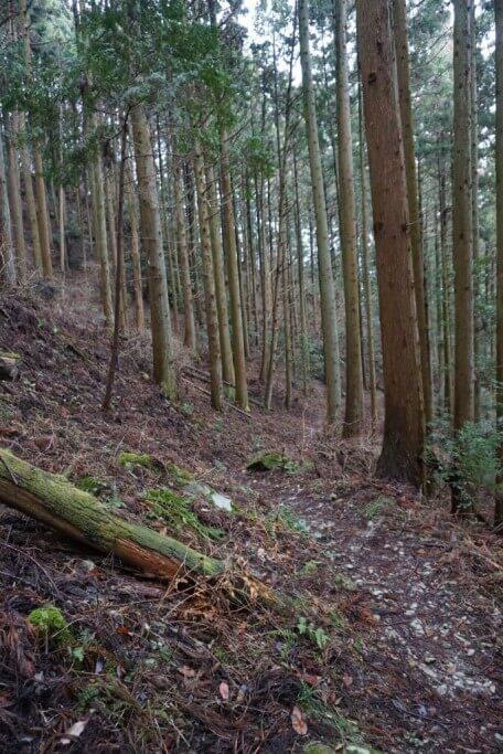 焼山寺遍路ころがし 杉林