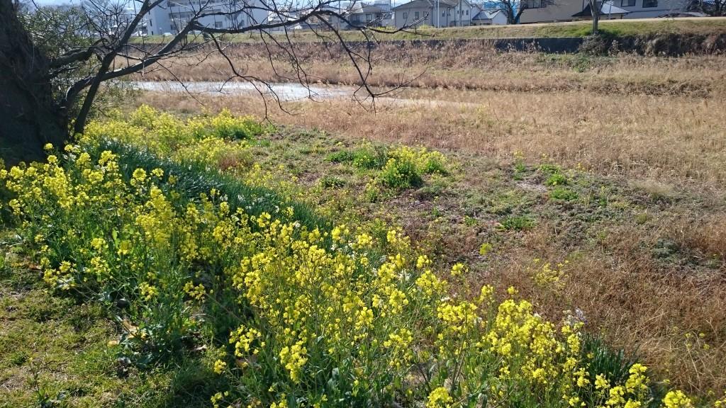 伊予北条 立岩川 菜の花