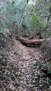 雲辺寺 遍路ころがし 未舗装路 倒木