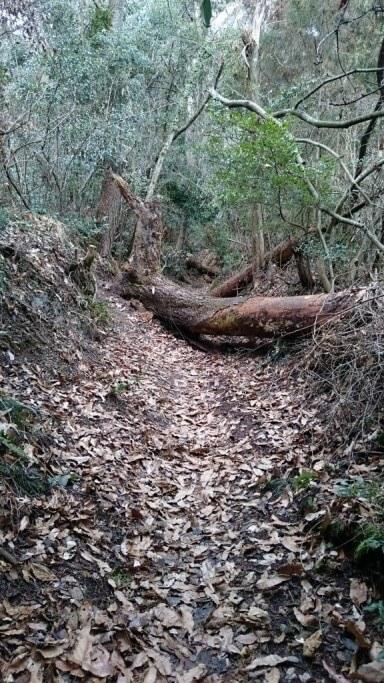 雲辺寺 遍路ころがし 倒木