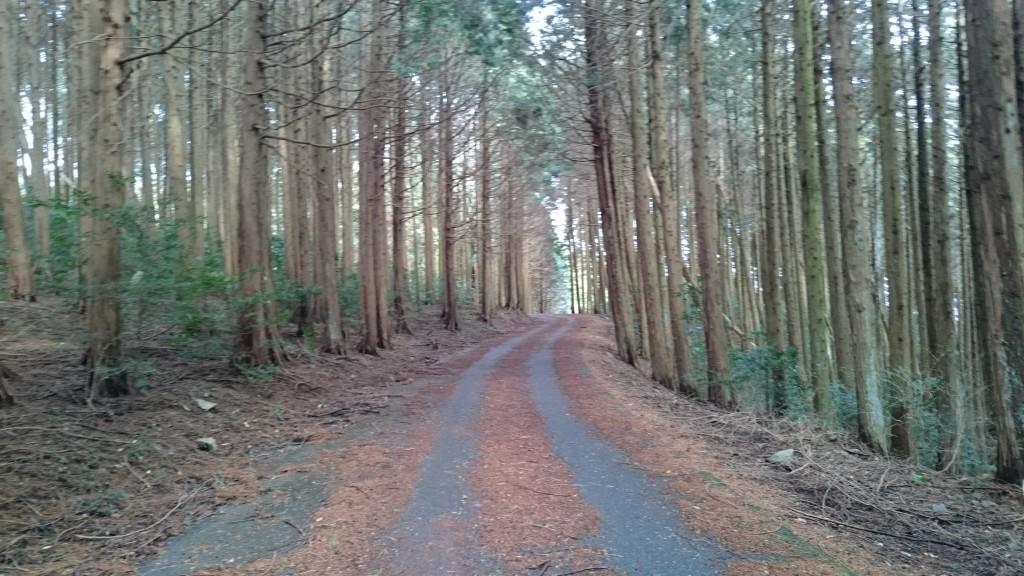 雲辺寺 遍路ころがし 舗装林道 杉木立