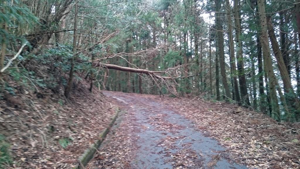 雲辺寺 遍路ころがし 舗装林道 杉木立 倒木