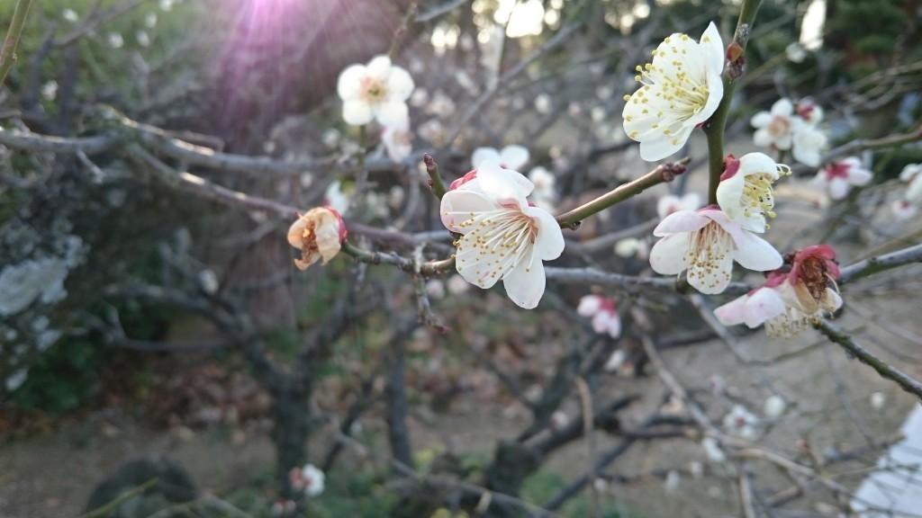 本山寺 梅の花