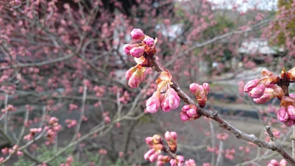 天皇寺 境内 梅の花