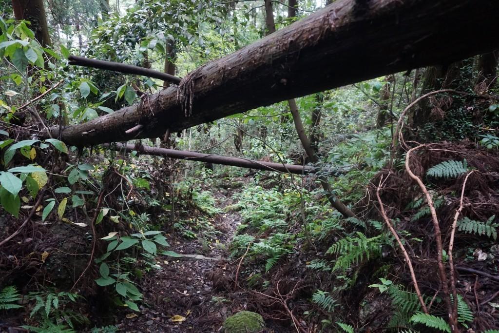 天霧城から海岸寺への遍路道 倒木