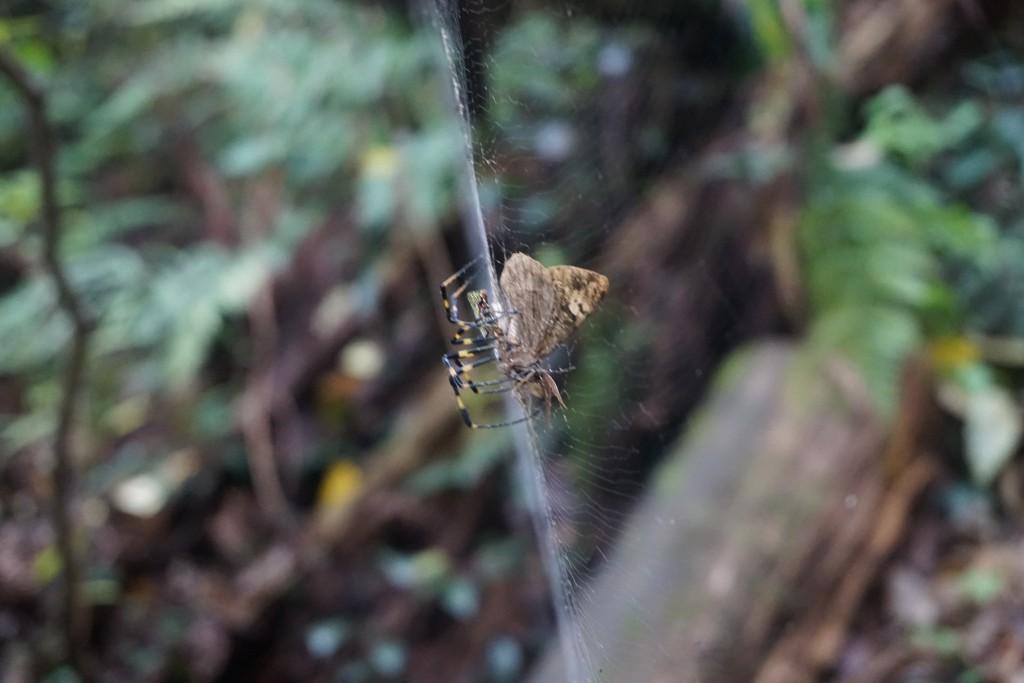 天霧城から海岸寺への遍路道 クモの巣 蛾