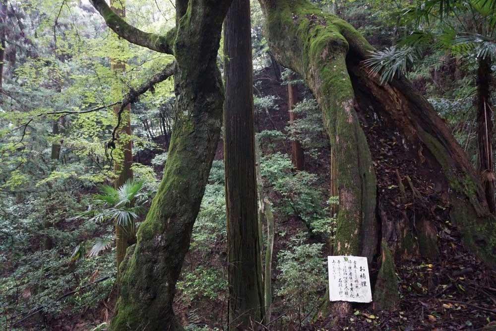 西山興隆寺 楠の巨木