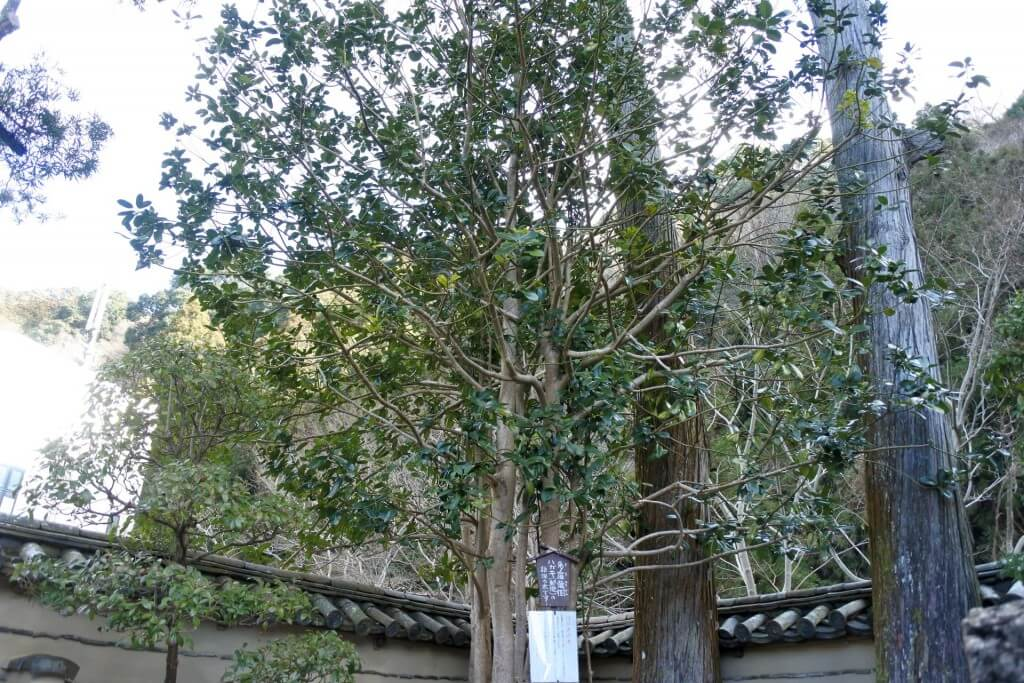 多羅葉樹の木 全景