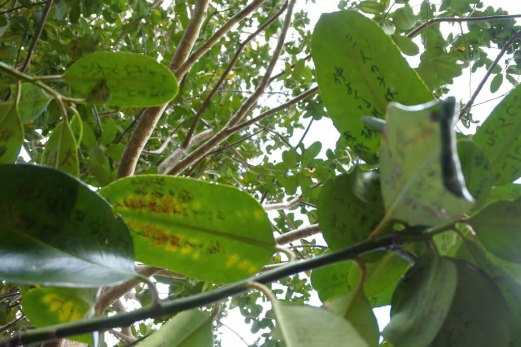 多羅葉樹の葉