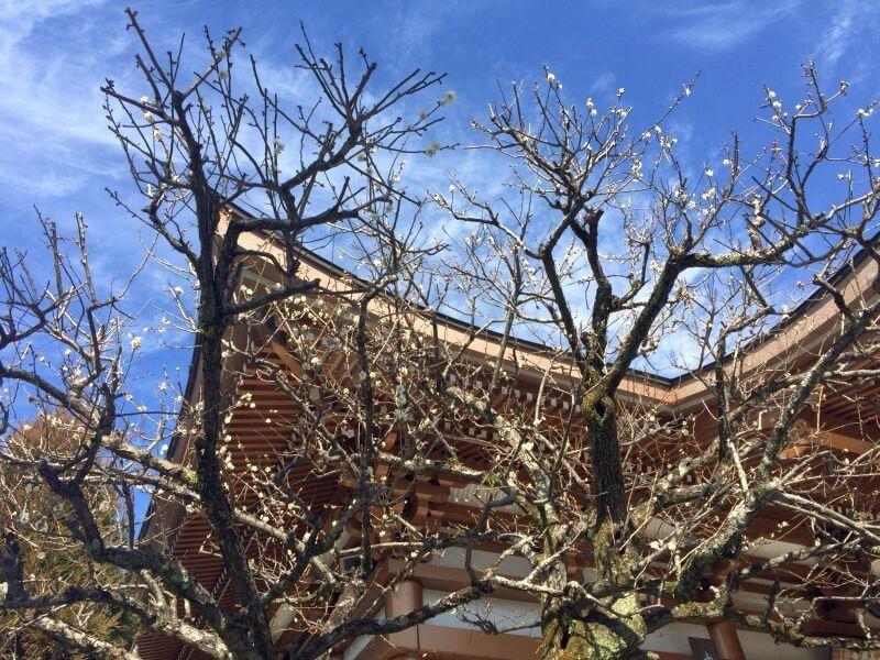 善楽寺 梅の木