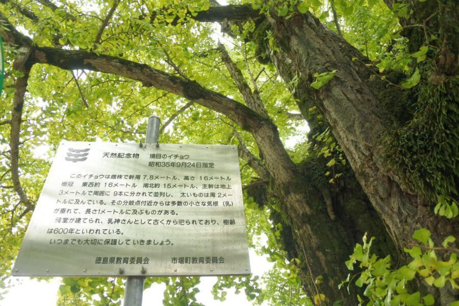 阿讃県境 大銀杏 徳島県天然記念物
