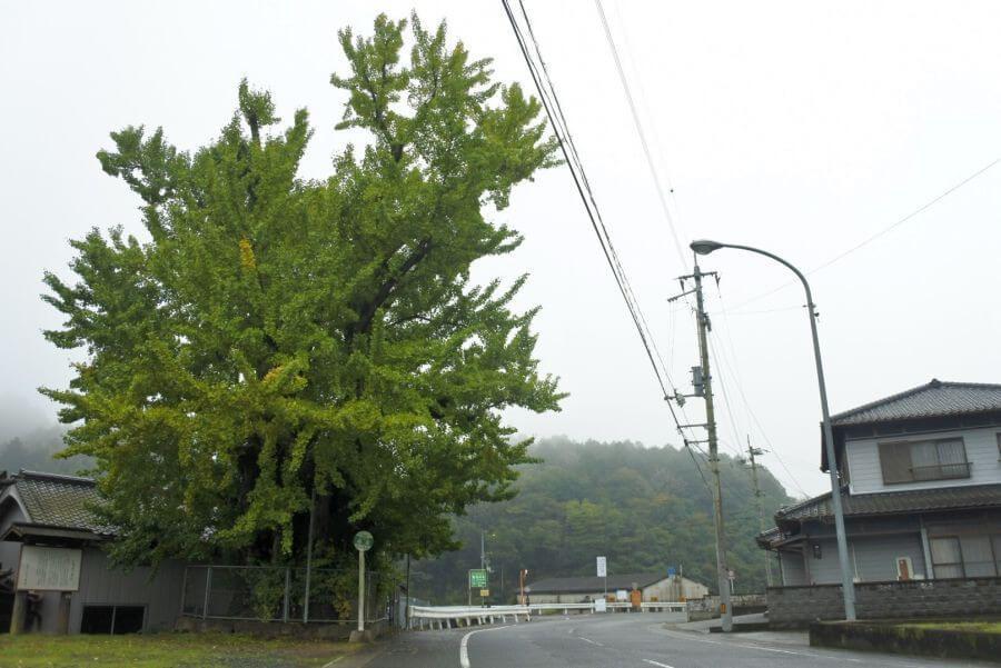 阿讃県境 大銀杏シンボル