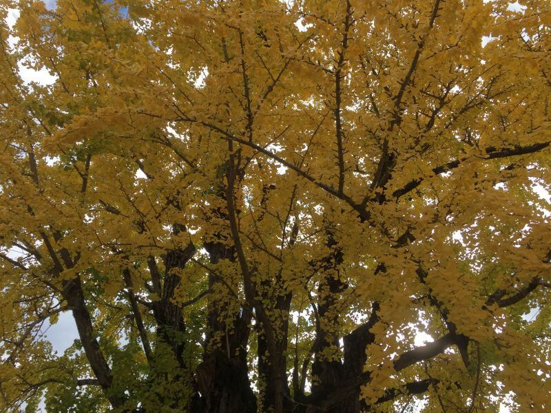 阿讃県境 紅葉の大銀杏 拡大