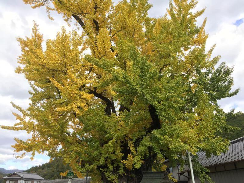 阿讃県境 大銀杏 紅葉部分と緑