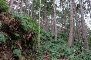 古目峠への古道 徳島県側 植林帯