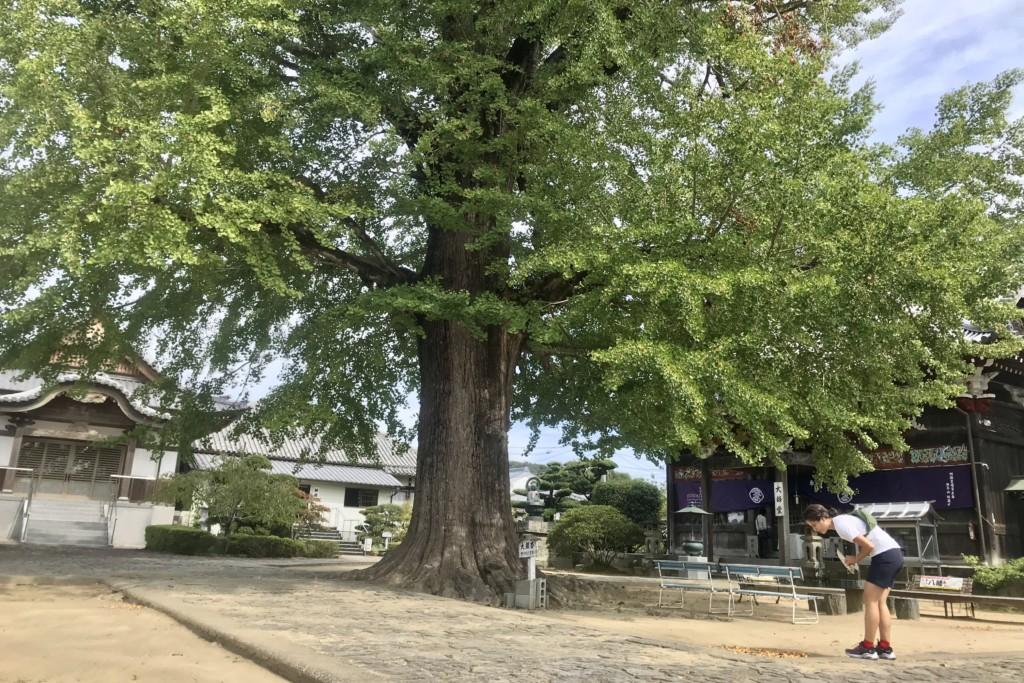 ミニベロ遍路 地蔵寺大銀杏