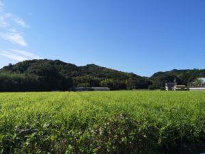 高知の生姜畑