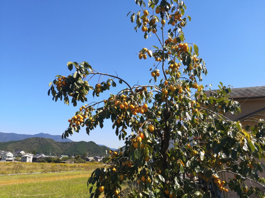 ミニベロ遍路 龍光寺近くの柿の木