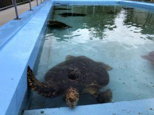 むろと廃校水族館 プール水槽のカメ